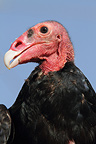 Portrait of a Turkey Vulture