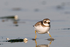 Ringed Plover running on the foreshore Britain France (Ringed Plover)