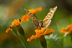 Butterfly foraging an orange flower PN Bukhansan South Korea