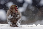 Japanese macaque in snow Shiga Kogen Japan  (Japanese macaque )