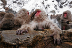 Japanese Macaques in Hot Spring Shiga Kogen Japan (Japanese macaque )