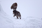 Japanese Macaques fighting in snow Shiga Kogen Japan (Japanese macaque )