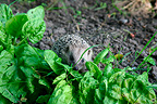 Hedgehog and dock in a kitchen garden (Western european hedgehogs)