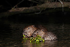 Young European beavers eating Lake Neuchâtel Switzerland (European beaver)