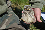 Chick Little owl taken out of its nest to be ringed (Little owl)