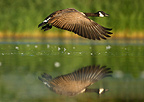 Canada goose flying above water USA (Kingfisher)