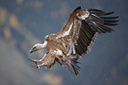 Eurasian Griffon Vulture in flight, Spain