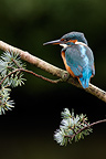 Female Kingfisher on a branch West Midlands UK (Kingfisher)