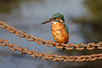 Female Kingfisher on a chain West Midlands UK (Kingfisher)