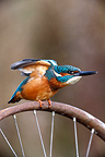 Male Kingfisher stretching on a bike wheel West Midlands UK (Kingfisher)