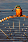 Kingfisher on a bike wheel Midlands UK (Kingfisher)