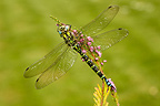 Male Azure hawker on a flower Midlands UK