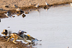 Black-backed Jackal hunting Red-eye doves in the Etosha NP (Black-backed jackal)