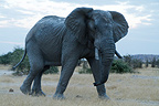 Male african bush elephant in Chobe NP in Botswana (African elephant)