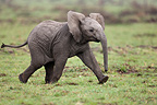 Baby African bush elephant in the Masai Mara NR Kenya (African elephant)