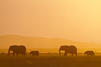 Mother and young Elephants in the Amboseli NP in Kenya (African elephant)