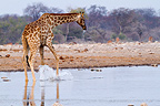 Giraffe drinking at a waterhole in Etosha NP in Namibia  (Giraffe)