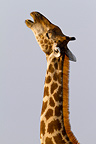 Portrait of a Giraffe in Etosha NP in Namibia� (Giraffe)