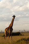 Masai giraffe in the male PN in Nairobi Kenya (Masai giraffe)