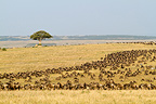 White-bearded wildebeest migration Masai Mara NR Kenya (White-bearded wildebeest)
