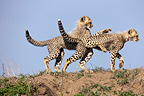 Young Cheetahs playing on a termite mound RN Masai Mara (Cheetah)