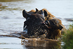 Spotted hyena attacking an African Buffalo Nakuru NP (Cape buffalo)
