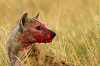 Portrait of a Spotted Hyena nose bloodied Kenya (Spotted Hyena)