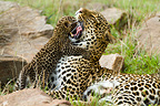 Leopard mother and cub Masai Mara NR in Kenya� (African leopard)