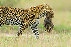 African Leopard mother carrying one month old cub, Masai Mara, Kenya�