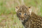 Portrait of a young Leopard one month old Masai Mara NR (African leopard)