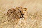 Lioness hunting in the Masai Mara NR Kenya (African lion)
