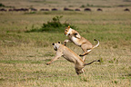 Two Lionesses playing in the RN of the Masai Mara in Kenya (African lion)