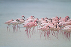 Lesser flamingoes under the rain Nakuru lake Kenya (Lesser flamingo)