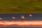 Lesser flamingoes flying Lake Bogoria in Kenya (Lesser flamingo)
