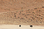 Ostriches male in the dunes of Sossusvlei Namibia (Ostrich)