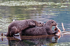 Otter eating a trout and young begging Yellowstone�NP (Canadian Otter )