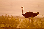 Male Ostrich running in the Masai Mara NR in Kenya (Ostrich)