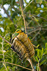 Bee-eater together to protect themselves from coldness (Little Bee-eater)