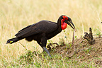 Southern Ground-hornbill eating a puff adder Kenya