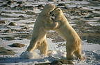 2 young adult polar bears play-fighting in the snow Canada (Polar bear)