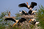 Painted storks breeding colony Keoladeo Ghana NP India (Painted Stork)