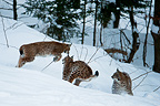 Eurasian Lynx playing in the snow Bayerisherwald Germany (Eurasian lynx )