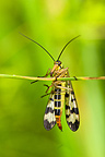 Scorpion Fly hanging on a culm in a meadow Bavaria Germany