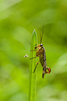 Scorpion Fly sitting on a culm in a meadow Bavaria Germany