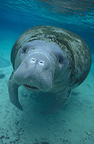 Florida manatee swimming in shallow water (Florida Manatee)