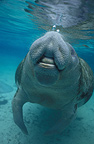 Florida manatee taking a breath at the surface of the water (Florida Manatee)