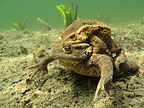 Common toads mating in the bottom of a lake France (European toad)