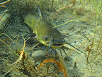 Catfish protecting its eggs in a lake France (Black Bullhead)