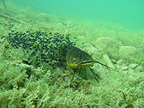 Catfish protecting its young in a lake France (Black Bullhead)