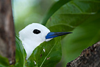 Portrait of a Common White Tern on the island Cousin (Common White Tern)